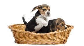 Dos perritos del beagle que juegan en una cesta de mimbre, aislada Imagen de archivo