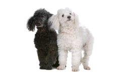 Dos perritos del caniche de juguete Imagen de archivo
