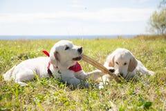 Dos perritos del golden retriever que juegan con el palillo Dos perros están jugando en la hierba en un fondo del mar y del cielo imagen de archivo