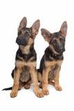 Dos perritos del pastor alemán fotos de archivo libres de regalías