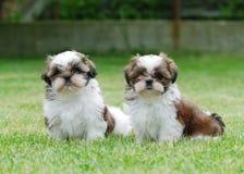 Dos perritos del shitzu imágenes de archivo libres de regalías