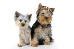Dos perritos del terrier de Yorkshire Fotografía de archivo