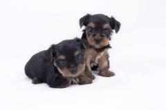Dos perritos del terrier de Yorkshire Foto de archivo