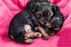 Dos perritos del terrier de Yorkshire que abrazan Imagenes de archivo