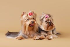 Dos perritos del yorkie fotografía de archivo