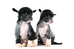 Dos perritos divertidos aislados en blanco Fotos de archivo
