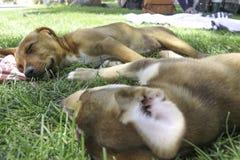 Dos perritos felices el dormir imagenes de archivo