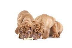 Dos perritos franceses del mastín con un hueso Fotos de archivo