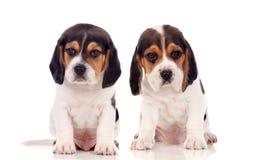 Dos perritos hermosos del beagle Imagen de archivo