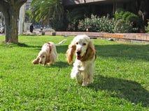 Dos perritos ingleses del perro de aguas de cocker Foto de archivo