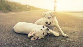 Dos perritos lindos del perro de Labrador juegan juntos mientras que puesta del sol Imagenes de archivo