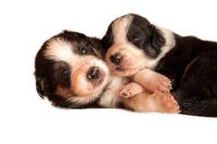 Dos perritos que se acurrucan en un fondo blanco Imagen de archivo libre de regalías