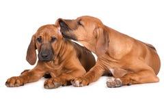 Dos perritos rhodesian del ridgeback en blanco Fotografía de archivo