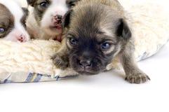 Dos perritos viejos de la chihuahua de las semanas, primer paso de progresión foto de archivo