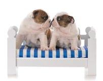 Dos perritos viejos de siete semanas imagen de archivo