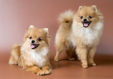 Dos perro de Pomerania-perros en estudio Fotos de archivo libres de regalías