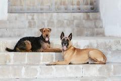 Dos perro Malinois y Airedale foto de archivo libre de regalías