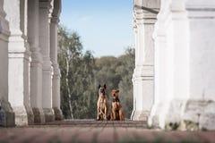 Dos perro Malinois y Airedale imagenes de archivo