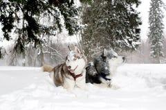 Dos perros adultos juegan en el perro esquimal de la nieve de la nieve Edad 3 años Fotos de archivo libres de regalías