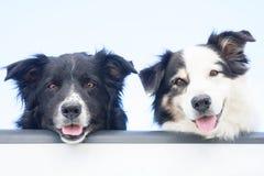 Dos perros australianos en la puerta posterior Imágenes de archivo libres de regalías