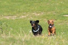 Dos perros basset miniatura que corren a través de campo Fotos de archivo libres de regalías