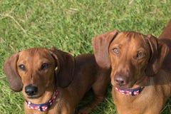 Dos perros basset miniatura rojos que miran para arriba la cámara Foto de archivo libre de regalías