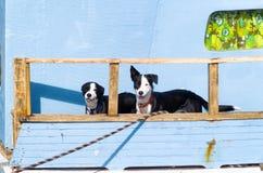 Dos perros blancos y negros Imagenes de archivo