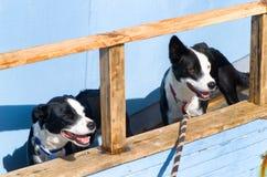 Dos perros blancos y negros Fotos de archivo libres de regalías