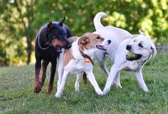 Dos perros blancos y un negros que juegan la bola Imágenes de archivo libres de regalías