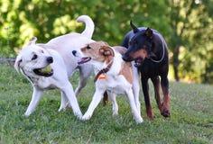 Dos perros blancos y un negros que juegan la bola Imagenes de archivo
