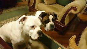 Dos perros boksera entretenidos en sala Fotografia Royalty Free