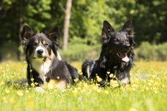 Dos perros, border collie, mintiendo en hierba con las flores amarillas Fotos de archivo