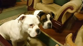 DOS-perros Boxer entretenidos en-sala lizenzfreie stockfotografie