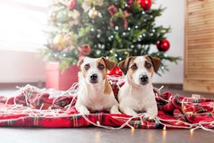 Dos perros cerca del árbol de navidad imágenes de archivo libres de regalías