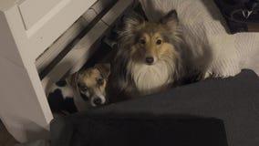 Dos perros criados en línea pura se sientan bajo un sintetizador y mirada en la cámara metrajes