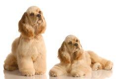 Dos perros de aguas de cocker imágenes de archivo libres de regalías