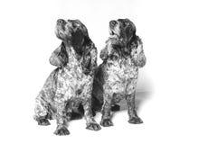 Dos perros de aguas de cocker ingleses fotografía de archivo