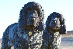 Dos perros de aguas de cocker ingleses en la playa Imagen de archivo libre de regalías