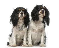 Dos perros de aguas de rey Charles arrogantes Fotos de archivo