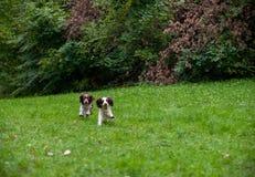 Dos perros de aguas de saltador inglés persiguen jugar en la hierba El jugar con la pelota de tenis Fotografía de archivo