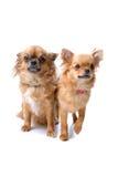 Dos perros de la chihuahua Fotos de archivo