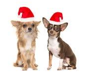 Dos perros de la chihuahua con el sombrero del ` s de santa Foto de archivo libre de regalías