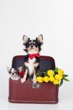 Dos perros de la chihuahua con las flores amarillas Imágenes de archivo libres de regalías