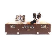 Dos perros de la chihuahua en la maleta Foto de archivo libre de regalías
