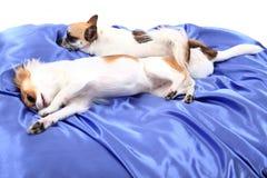 dos perros de la chihuahua están descansando en terciopelo azul Foto de archivo