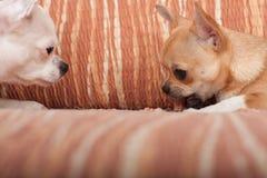 Dos perros de la chihuahua que mienten en el sofá con la invitación cauchutosa Imagen de archivo libre de regalías