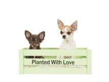 Dos perros de la chihuahua que se sentaban en un cajón verde con el texto plantaron amor Imagen de archivo libre de regalías