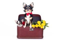 Dos perros de la chihuahua se están sentando en caja con los tulipanes Imagen de archivo libre de regalías