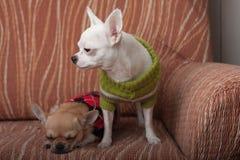 Dos perros de la chihuahua se vistieron con los jerséis que descansaban sobre el sofá Imágenes de archivo libres de regalías