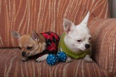 Dos perros de la chihuahua se vistieron con los jerséis que descansaban sobre el sofá Foto de archivo